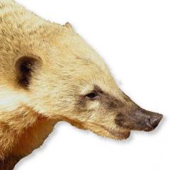 Nasenbär